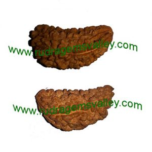 Rudraksha 1 mukhi (one face) beads, kaju shape (cashewnut shape) Indian pure original rudraksha beads.