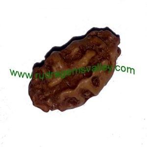 Rudraksha 1 mukhi (one face) beads, kaju shape (cashewnut shape) Indonesian pure original rudraksha beads.