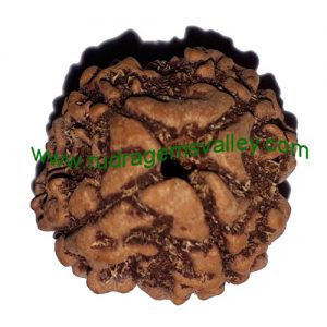 Rudraksha 4 mukhi (four face) approx 15mm beads, Nepali pure original rudraksha, available in natural color as well as dyed color with or without knots, pack of 1 pcs. beads.