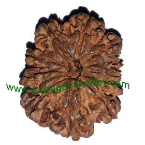 Rudraksha 11 mukhi (eleven face) approx 15mm-20mm beads, Nepali pure original rudraksha beads.