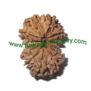Rudraksha 14 mukhi (fourteen face) approx 15mm-20mm beads, Nepali pure original rudraksha beads.