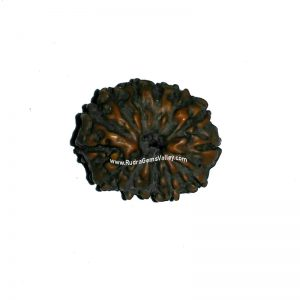 Rudraksha 15 mukhi (fifteen face) approx 15mm-20mm beads, Nepali pure original rudraksha beads.
