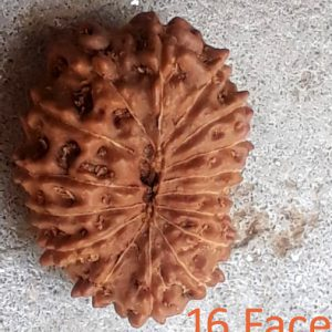 Rudraksha 16 mukhi (sixteen face) approx 12mm-15mm beads, Indonesia pure original rudraksha beads.