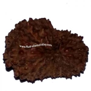 Rudraksha 18 mukhi (eighteen face) approx 12mm-15mm beads, Indonesia pure original rudraksha beads.