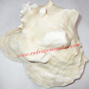 Conch shell blowing shankh, prayer accessories, size 7 x 6.5 inch, weight approx 900 grams, pack of 1 pcs.