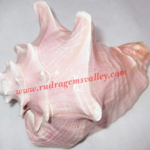 Conch shell blowing shankh, prayer accessories, size 7 x 6.5 inch, weight approx 600 grams, pack of 1 pcs.