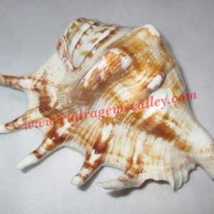 Conch shell blowing shankh, prayer accessories, size 5 inch, weight approx 195 grams, pack of 1 pcs.